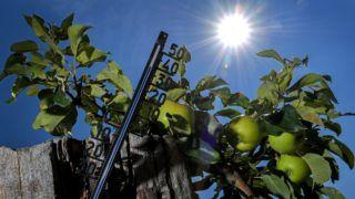 Kamp-Lintfort, 2018. július 27. 39 Celsius-fokot mutat a hõmérõ higanyszála egy almafa mellett az Észak-Rajna-Vesztfália tartománybeli Kamp-Lintfortban 2018. július 27-én. A német meteorológiai szolgálat, a DWD hõségriadót rendelt el az ország nagy részében. (MTI/EPA/Sascha Steinbach)