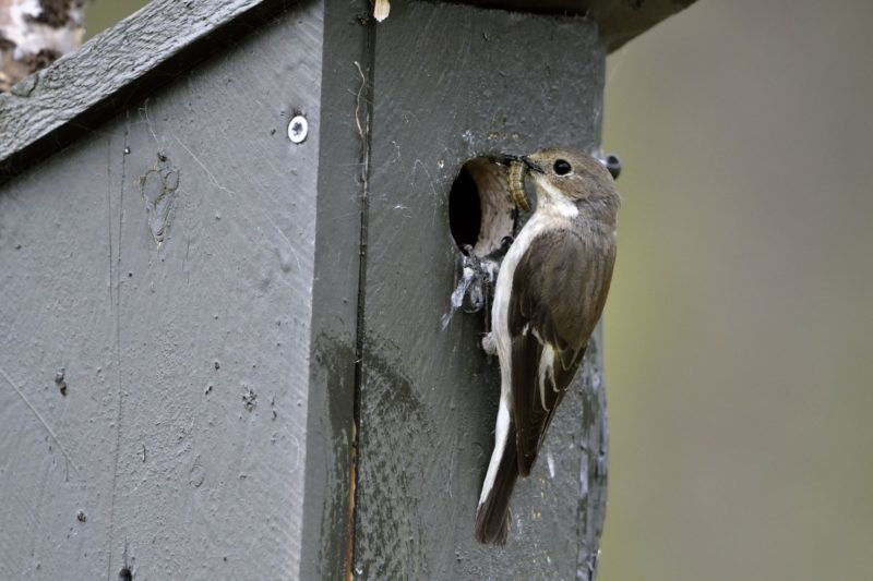 Pied Flycatcher female on nest box - Varanger Norway.    Biosphoto / Pierre Vernay