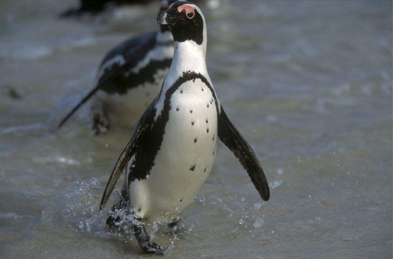 Spheniscus demersus / Manchot du Cap / African penguin-jackas ©NOVACK N./HorizonFeatures/Leemage