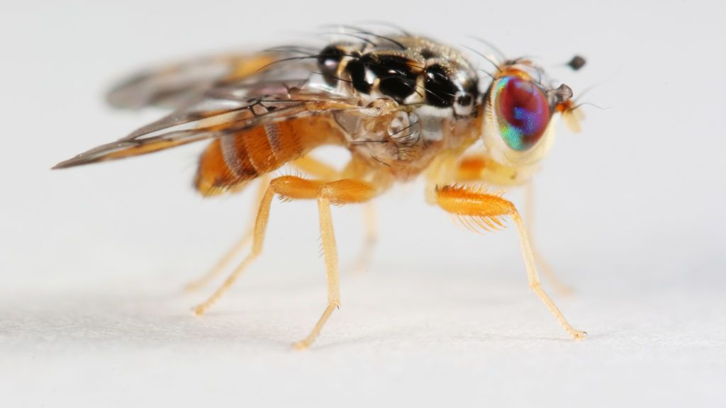 Fruit fly with coloful eyes
