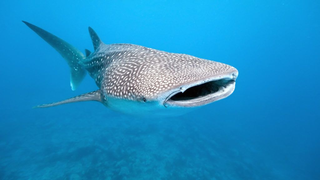 Whale shark from maldives