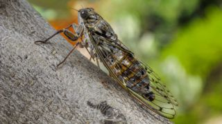 A close-up of a cicada on a branch.