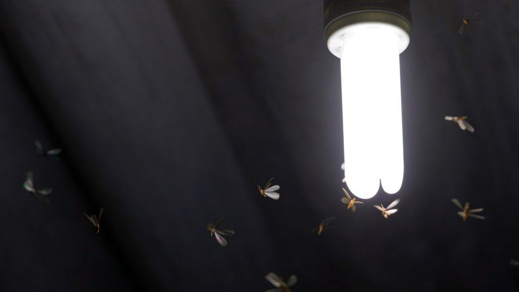 Flying termite bugs