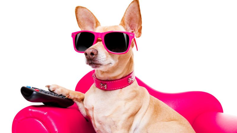 chihuahua dog watching tv or a movie sitting on a red sofa or couch  with remote control changing the channels