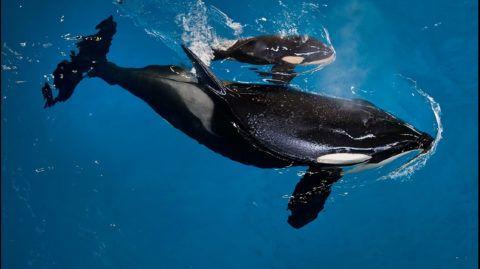 70420160. México, 20 Abr. 2017 (Notimex-Especial).- Una compañía de parques temáticos anunció el nacimiento de un nuevo integrante de su familia de orcas, el miércoles a las 14:33 horas, luego de que Takara, la madre de 25 años de edad, dio a luz en las instalaciones de SeaWorld en San Antonio, Texas, Estados Unidos.  NOTIMEX/FOTO/ESPECIAL/COR/HUM