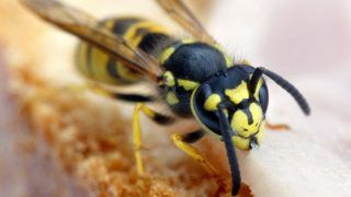 (dpa) - A wasp sits on a bread roll and enjoys a delicious slice of ham which lies on top of it in Magdeburg, Germany, 14 August 2003. These flying insects usually feed animal leftovers, sap, pollen and nectar but also from produce produced by humans such as marmelade and jam. Humans are not the natural enemy of wasps as they only attack when they are angered or threatened.