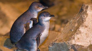 Blue Penguins (Eudyptula minor), South Island, New Zealand.    Biosphoto / Stephane Godin