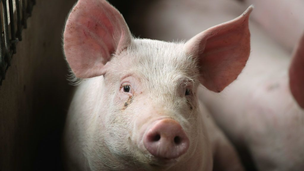 POLO, IL - JUNE 06: Hogs are raised on Duncan Farms on June 6, 2018 near Polo, Illinois. In retaliation for the Trump administration's tariffs on steel and aluminum, Mexico, one of the largest markets for U.S. pork exports, said it would impose up to a 20 percent tariff on all U.S. pork products.   Scott Olson/Getty Images/AFP