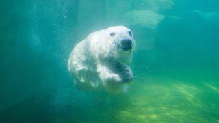 Budapest, 2017. július 7. A Fővárosi Állat- és Növénykert egyik jegesmedvéje úszik medencéjében 2017. július 7-én. MTI Fotó: Kallos Bea
