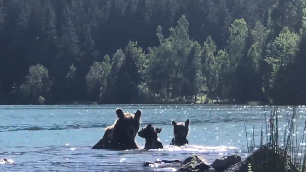 Szent Anna-tóban pancsoló medvék - krónika