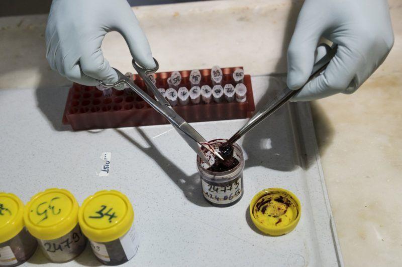 Budapest, 2018. május 17. Vaddisznóból vett mintákat készít elõ virológiai vizsgálatra egy laboráns a Nemzeti Élelmiszerlánc-biztonsági Hivatal Állat-Egészségügyi Diagnosztikai Igazgatóságán 2018. május 17-én. A kép az ASP-vel (afrikai sertéspestissel) kapcsolatban készített illusztráció. MTI Fotó: Mónus Márton