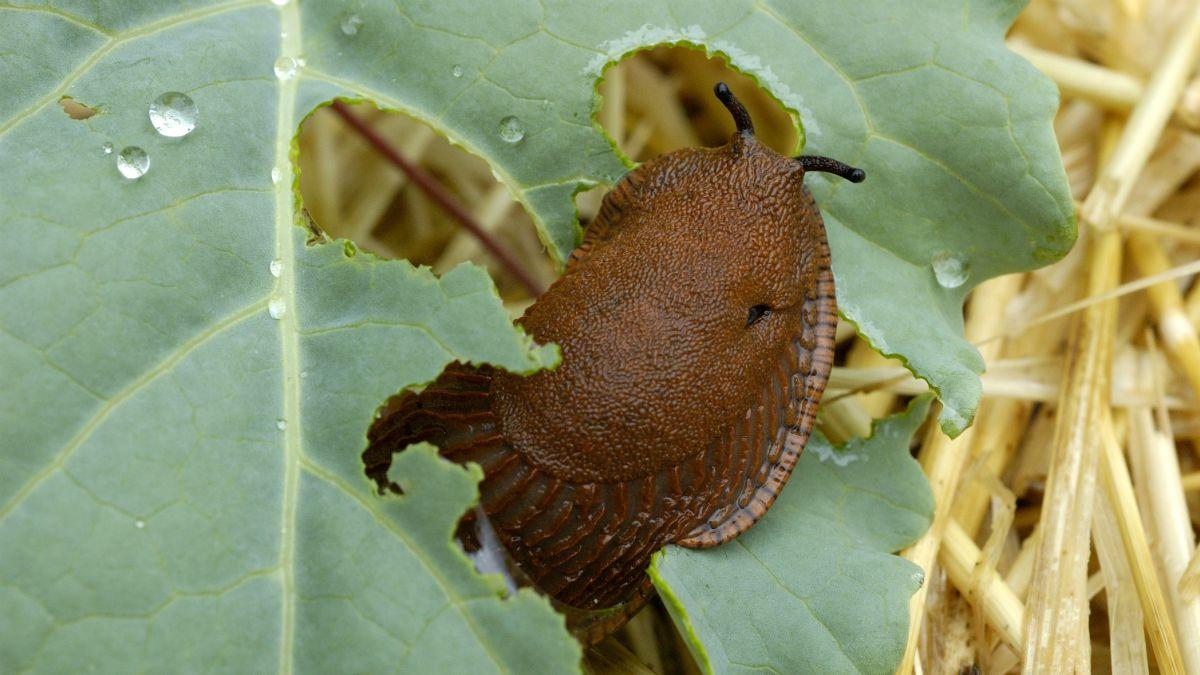 A csigákat leginkább a gyerekek kedvelik, a felnőttek, különösen, ha a kertjükben találkoznak vele, már kevésbé.