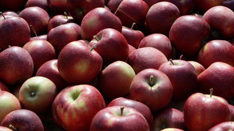Csorvás, 2017. szeptember 27. Golden alma a csorvási Hunapfel 23 hektáros gyümölcsfa ültetvényén 2017. szeptember 27-én. Az ültetvényen hatvan embernek adnak munkát a várhatóan 800 tonna gyümölcs leszüretelésének idején. Az idén igen jó minõségû termést külföldre és belföldre egyaránt értékesítik. MTI Fotó: Lehoczky Péter