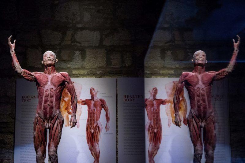 Budapest, 2018. február 14. Úgynevezett plasztinációs eljárással konzervált emberi preparátum az emberi test anatómiáját bemutató Body kiállításon a fõvárosi Komplexben 2018. február 14-én. MTI Fotó: Balogh Zoltán