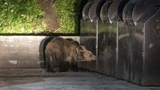 Tusnádfürdõ, 2017. június 10. Kukában élelmet keresõ medve Tusnádfürdõn 2017. június 9-én este. A vadállatok az erdélyi város utcáin úgy mászkálnak, mint máshol a kóbor kutyák. MTI Fotó: Veres Nándor