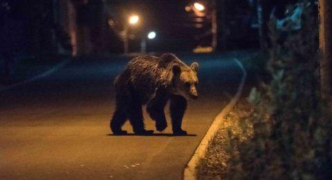 Tusnádfürdõ, 2017. június 10. Élelmet keresõ medve Tusnádfürdõn 2017. június 9-én este. A vadállatok az erdélyi város utcáin úgy mászkálnak, mint máshol a kóbor kutyák. MTI Fotó: Veres Nándor
