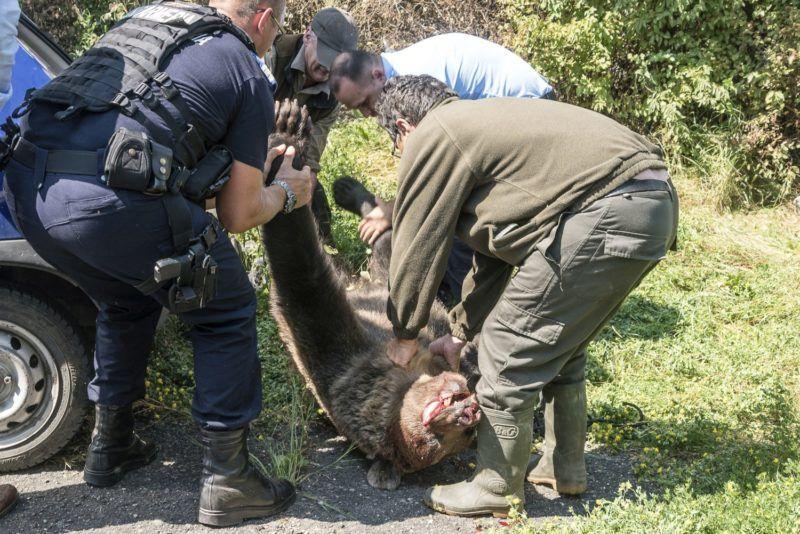 Csíkszereda, 2018. augusztus 21. A csíkszeredai Octavian Goga Fõgimnázium udvarán kilõtt hím barna medvét (Ursus arctos) emelik egy autó csomagtartójába 2018. augusztus 21-én. A medve a reggeli órákban több közeli ház udvarába is betört, egy kecskét is megölt. Az állatot egyetlen lövéssel kilõtték. MTI Fotó: Veres Nándor