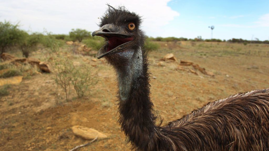 LONGREACH, AUSTRALIA - MARCH 19:  A emu fondly named 'Stan' is seen during a water run, abandoned just after hatching he was found while mustering on a neighbouring property and was raised and now released by the Walkers onto 'Rio Station' on March 19, 2014 in Longreach, Australia. Queensland, Australia's second-largest state, is currently suffering from its widest spread drought on record. Almost 80% of the region is now declared affected. The Australian government recently approved an emergency drought relief package of A$320m, of which at least A$280m is allocated for loans to assist eligible farm businesses to recover.  (Photo by Lisa Maree Williams/Getty Images)