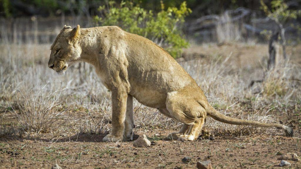 Specie Panthera leo family of felidae