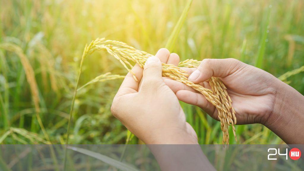 rizs gyógyítja a pikkelysömör hideg krém pikkelysömörhöz