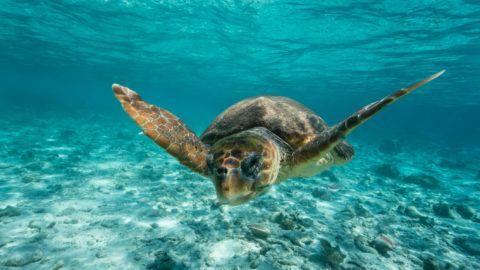 Loggerhead sea turtle Caretta caretta, swimming toward photographer through clear turquoise tropical water