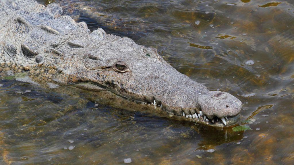 American crocodile (Crocodylus acutus) swimming in the Florida Everglades