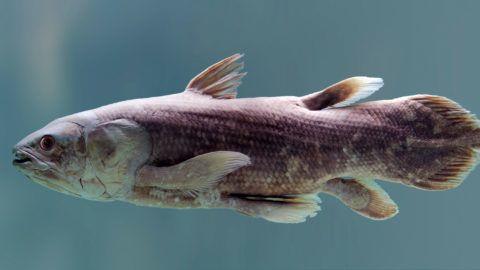 Coelacanth Fish - Latimeria Chalumnae