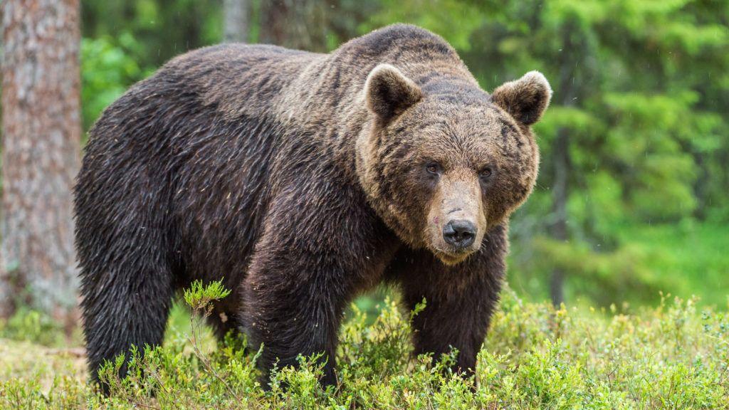 Wild Brown bear (Ursus Arctos Arctos) in the summer forest. Natural green Background