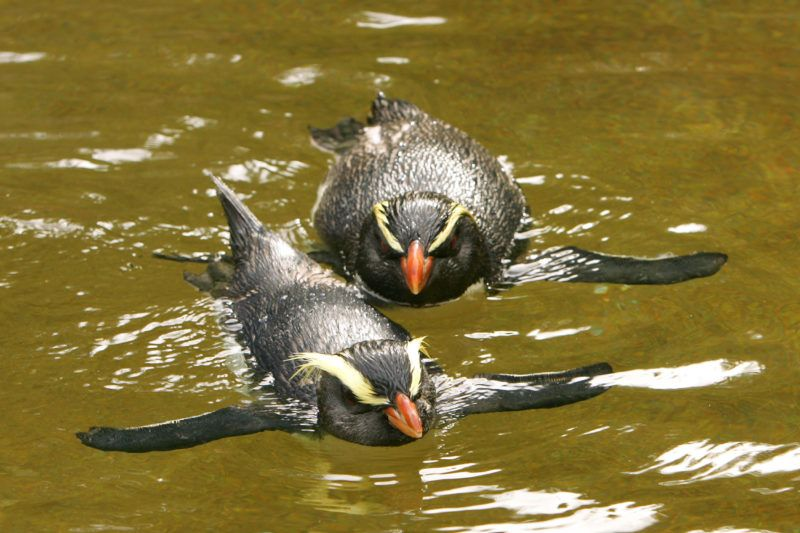 """Fiordland Crested female penguin Milford (L) has his first swim with """"Mr Munro"""" (R) after the two were introduced to one another at the Taranga Zoo in Sydney, 19 April 2007.  Mr Munro was brought to the zoo in November, 2006 after he swam across from New Zealand and washed up in Sydney.    AFP PHOTO/Anoek DE GROOT / AFP PHOTO / ANOEK DE GROOT"""