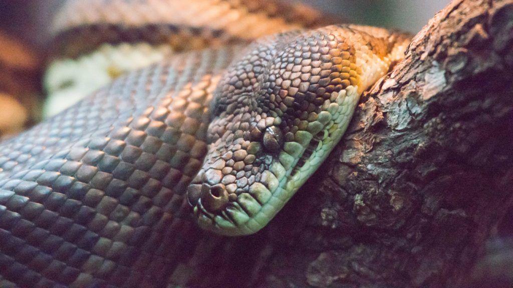 Rautenpython im Zoo von Perth, Morelia spilota imbricata / Southwest Carpet Python, Morelia spilota imbricata
