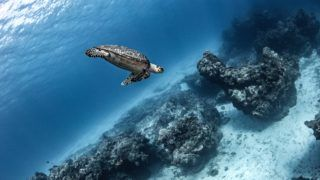 Hawksbill turtle, Cozumel, Quintana Roo, Mexico