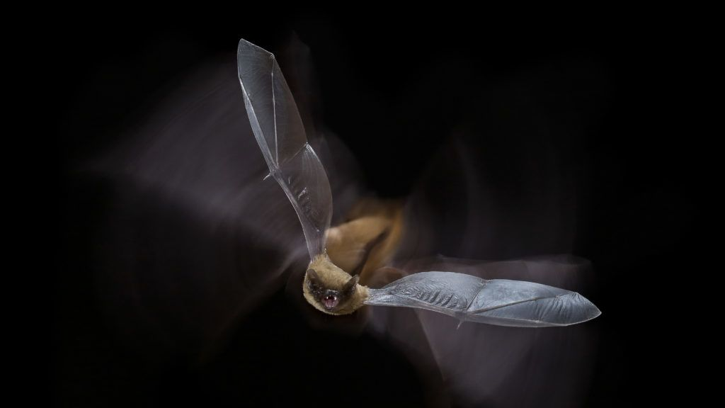 Common pipistrelle (Pipistrellus pipistrellus) in flight, Salamanca, Castilla y León, Spain.    Biosphoto / Mario Cea Sanchez