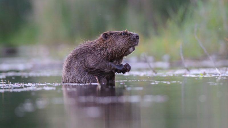 European beaver (Castor fiber) in water near the edge, Dead Arm of the Rhone River, Savoie, France.    Biosphoto / Remi Masson