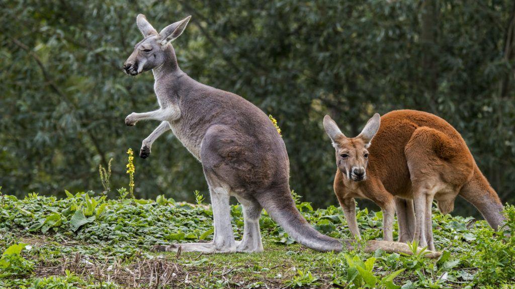 Red kangaroos (Macropus rufus) male and female, native to Australia | Kangourou roux (Macropus rufus) 20/09/2017