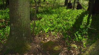 Debrecen, 2007. április 24. A debreceni Nagyerdõ természetvédelmi területein megfigyelték, hogy a gyöngyvirágos tölgyesekben a fák között meghúzódó kis hagymás növények ott alkotnak telepeket, ahol az évszázados tölgyek is jól érzik magukat. Az erdõség 15 ilyen helyszínét a területkezelõ erdész naponta többször ellenõrzi a virágtolvajok és a természetkárosítók távoltartására. MTI Fotó: Oláh Tibor
