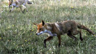 Pomáz, 2018. július 3. Vörös róka (Vulpes vulpes) és kölyke egy erdõszéli réten a Pest megyei Pomáz környékén 2018. július 6-án. MTI Fotó: Kovács Attila