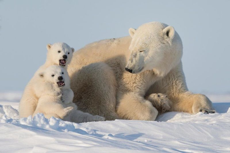 Polar bear (Ursus maritimus) with cubs in the Wapusk National Park, Churchill, Manitoba, Canada