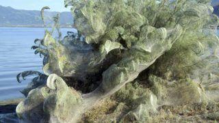 Aitoliko, 2018. szeptember 21. Vastag pókháló borítja a part menti növényzetet a nyugat-görögországi Aitolikóban 2018. szeptember 18-án. A növényekre egyébként ártalmatlan jelenség idényjellegû és egy olyan pókfajta szorgalmának a parton néhány száz méter hosszan elnyúló eredménye, amely nagy hálókat szõ a párzásához. A kedvezõ idõjárás mellett a zsákmányrovarok, különösen a szúnyogok kivételesen nagy száma is hozzájárult a pókpopuláció megnövekedéséhez. (MTI/AP/Jánisz Janakopulosz)