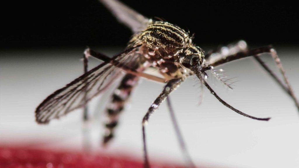 San José, 2016. február 1. A zikavírust terjesztõ egyiptomi csípõszúnyog (Aedes aegypti) egyik példánya a Costa Rica-i San Joséban 2016. január 31-én, egy nappal az elõtt, hogy az Egészségügyi Világszervezet, a WHO globális egészségügyi vészhelyzetet hirdetett a zikaláz miatt. (MTI/EPA/Jeffrey Arguedas)