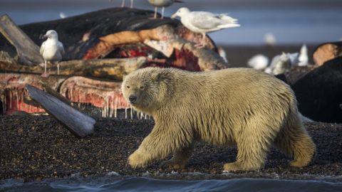 Kaktovik, 2017. szeptember 27.Fiatal jegesmedve sirályok társaságában egy grönlandi bálna teteménél az alaszkai Kaktovik településnél az éves bálnavadászat idején, 2017. szeptember 12-én. (MTI/EPA/Jim Lo Scalzo)