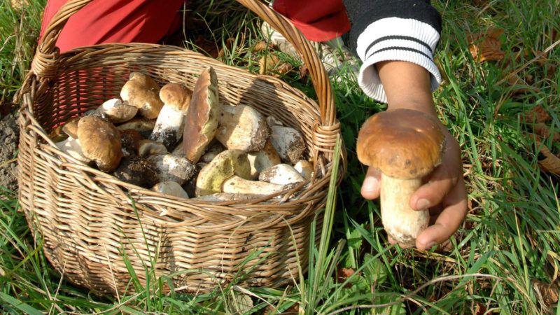 Parád, 2008. október 17.Farkas László (b) és Radics Attila naponta fejenként 5-6 kilogramm gombát is összegyűjtenek, amelyet eladnak a felvásárlóknak. Parádfürdőn a Sándor-réten és környékén szeptember végétől november közepéig tart a vargányagomba szedés ideje. Kedvelt pénzkereseti lehetőség ez ősszel a munkanélküli recski romáknak.MTI Fotó: H. Szabó Sándor