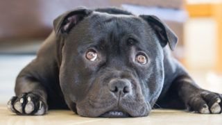 Cute black staffordshire bull terrier dog lying down flat on the floor indoors, his eyes are looking up to one side with a cute appealing, slightly sad expression. He is a bull breed.