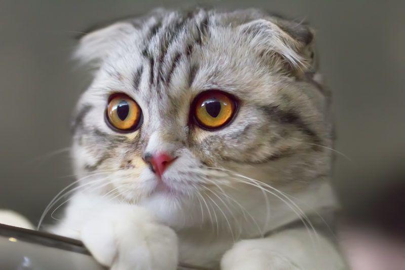Portrait of a Scottish fold kitten close-up. Colour calico.