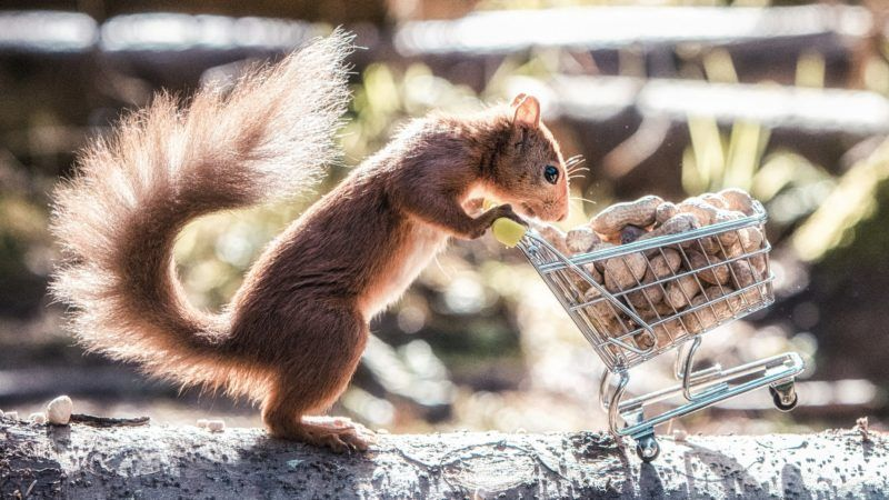 An outtake from the three weeks photographer Craig Doogan spend trying to capture his perfect moment of a red squirrel pushing a miniature trolly full of nuts in Templeton Woods, Dundee. See Centre Press story CPSQUIRREL; This is the perfect moment a hungry red squirrel is caught stocking up on their favorite treats. Craig Doogan, 38, spent three weeks patiently attempting to set up the shot after dropping his children off at school each morning. The freelance photographer from Dundee captured the picture in the city's Templeton Woods in September 2016, and has only recently decided to share the nutty image. ***EXCLUSIVE***
