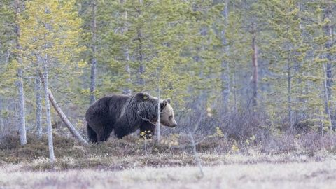 Brown bear (Ursus arctos) walking in clearing, Finland.  Biosphoto / Sylvain Cordier