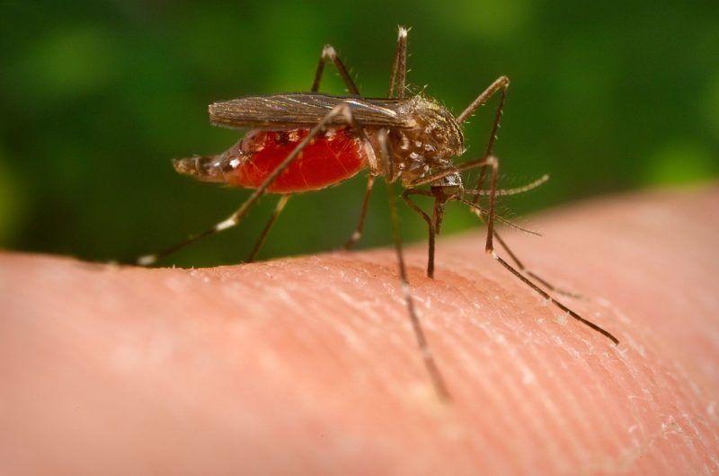 Aedes japonicus - ázsiai bozót szúnyog Fotó:James Gathany / Centers for Disease Control and Prevention / Wikipedia