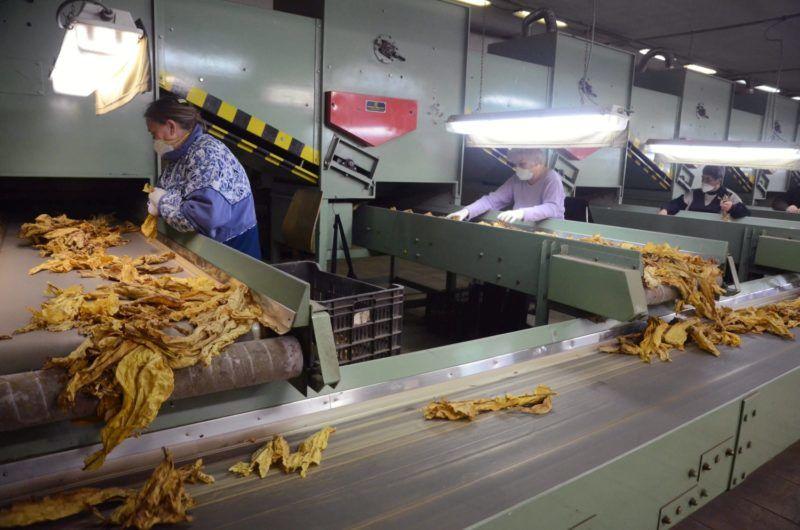 Szolnok, 2012. november 9. Dolgozók válogatják a szárított dohányleveleket a Dofer Dohányfermentáló Zrt. üzemében Szolnokon 2012. november 9-én. Az üzem a Continental Dohányipari Csoporthoz tartozó Sátoraljaújhelyi Dohánygyárat látja el alapanyaggal. MTI Fotó: Mészáros János