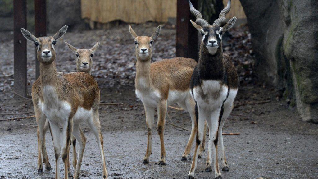 Budapest, 2015. január 22. Indiai antilopok (Antilope cervicapra) kifutójukban a Fõvárosi Állat- és Növénykertben 2015. január 22-én. Az állatkertben alig több mint két hete született antilopborjú, amelyet a nagyközönség most még nem láthat. A gondozók naponta négyszer etetik cumisüvegbõl kínált kecsketejjel a félénk állatot. MTI Fotó: Kovács Attila