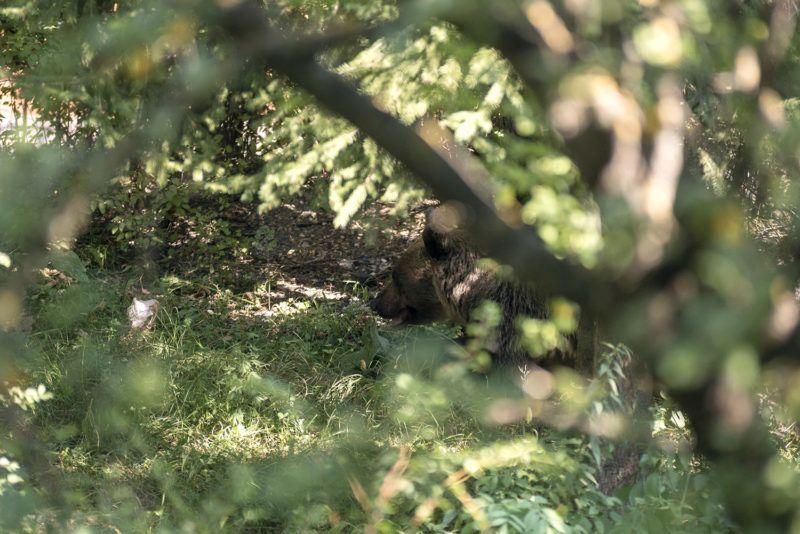 Csíkszereda, 2018. augusztus 21.Hím barna medve (Ursus arctos) a csíkszeredai Octavian Goga Főgimnázium udvarán 2018. augusztus 21-én. A medve a reggeli órákban több közeli ház udvarába is betört, egy kecskét is megölt. Az állatot az iskola udvarán kilőtték.MTI Fotó: Veres Nándor