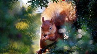 Köln, 2011. október 24. Bogyót eszik egy mókus egy fán, a németországi Kölnben. (MTI/EPA/Oliver Berg)
